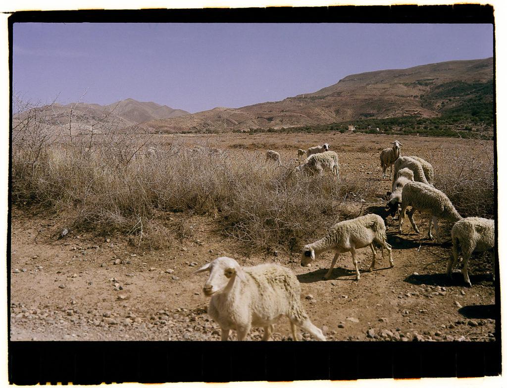 Schafe in Marokko